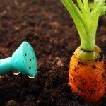 Нужно интенсивно поливать морковь в фазе активного роста