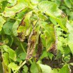 Рекомендуется при посадке выбирать сорта картофеля, устойчивые к фитофторозу